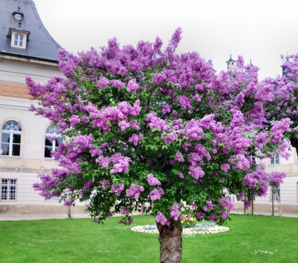 lilac tree pruning